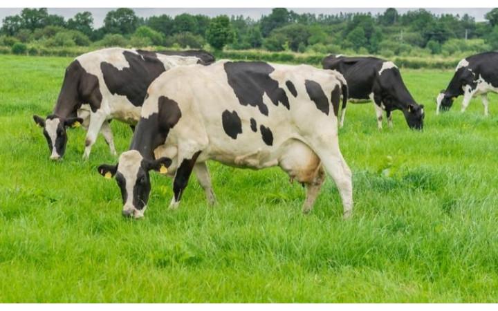 Piena lopkopji un liellopu audzētāji saņems ārkārtas atbalstu